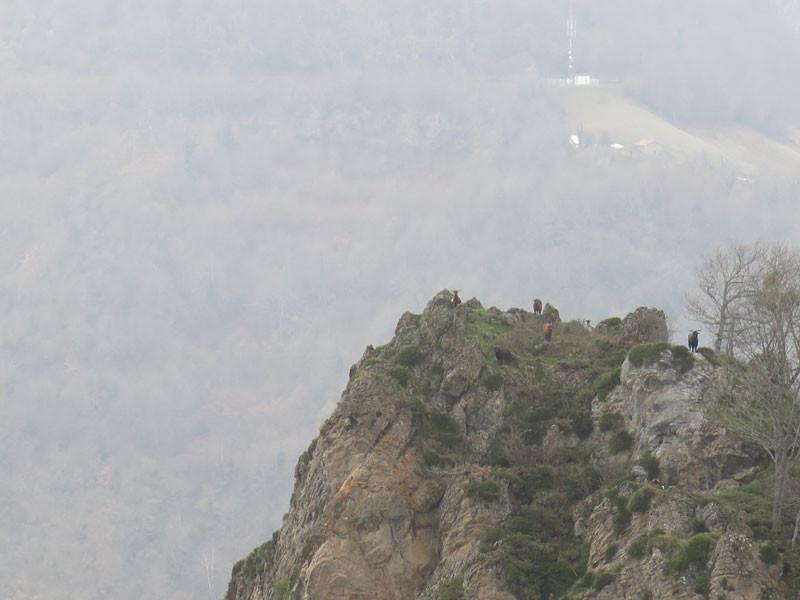 Cabras montesas de los Picos de Europa