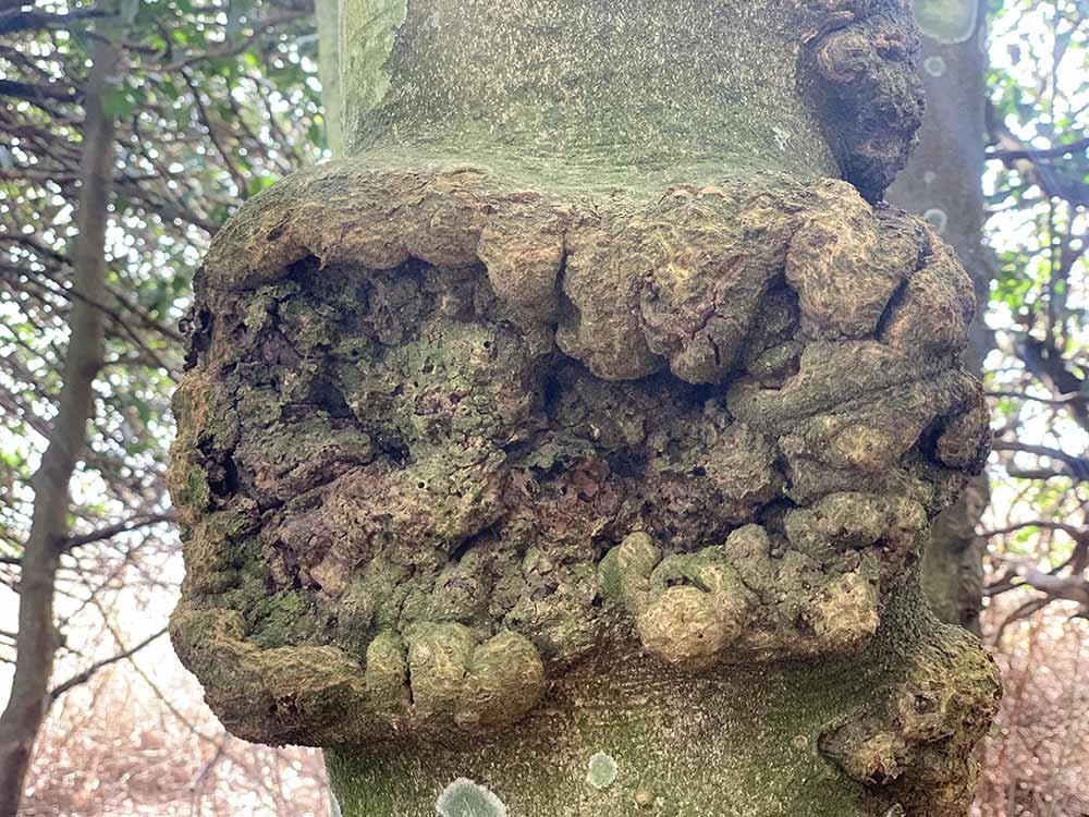 Acebeda de Robregordo - Muñón formado en el tronco