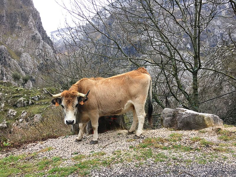Arenas de Cabrales en invierno - La Fuentina - Vaca