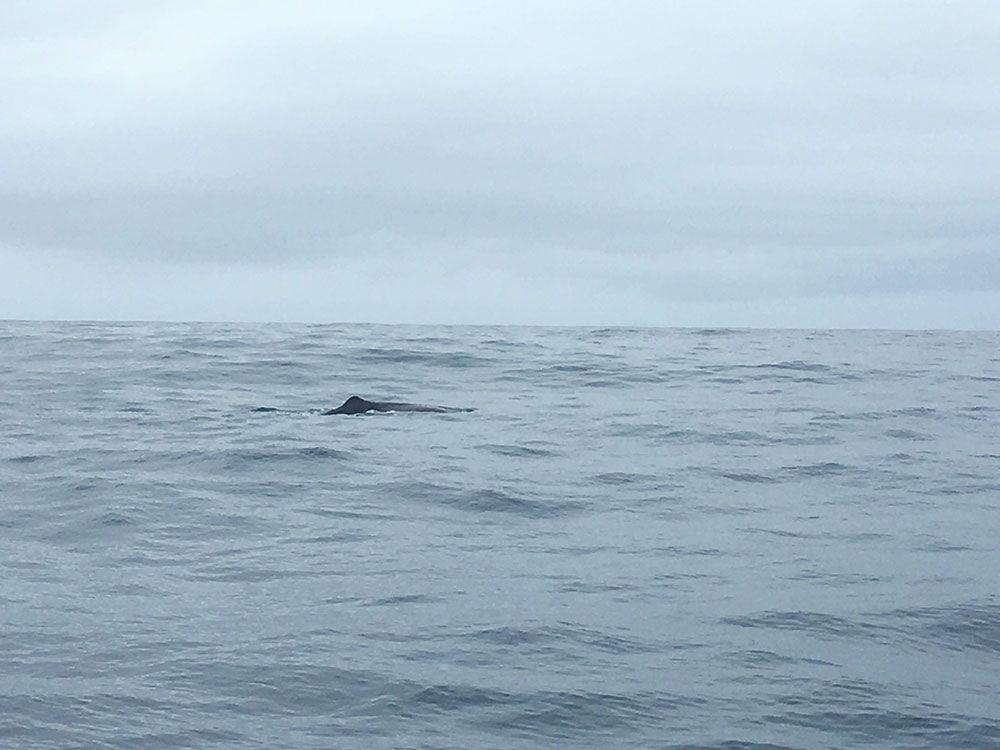 Avistamiento ballenas azores - Whale Watching Terra Azores - Cachalote
