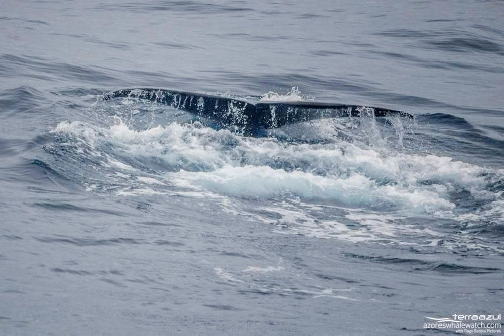 Avistamiento ballenas azores - Whale Watching Terra Azores - Cola de cachalote