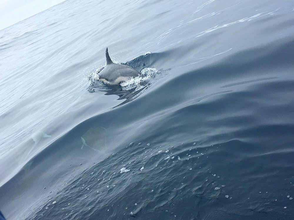 Avistamiento ballenas azores - Whale Watching Terra Azores - Delfín escondiéndose