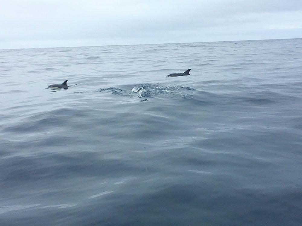 Avistamiento ballenas azores - Whale Watching Terra Azores - Pareja de delfines
