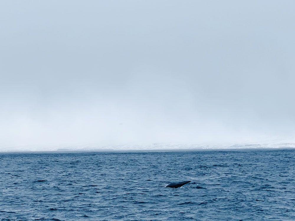 Ballena en el Mar de Groenlandia