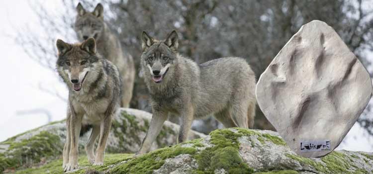 avistamiento-lobos-zamora-huella