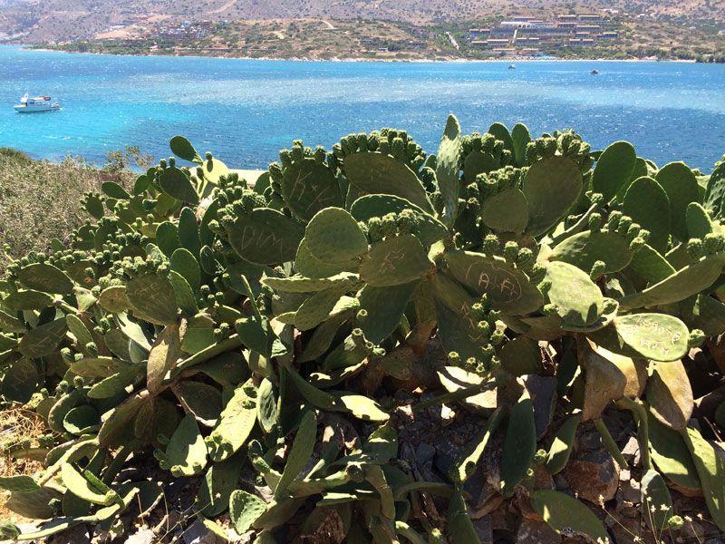 Cactus de la Isla de Spinalonga