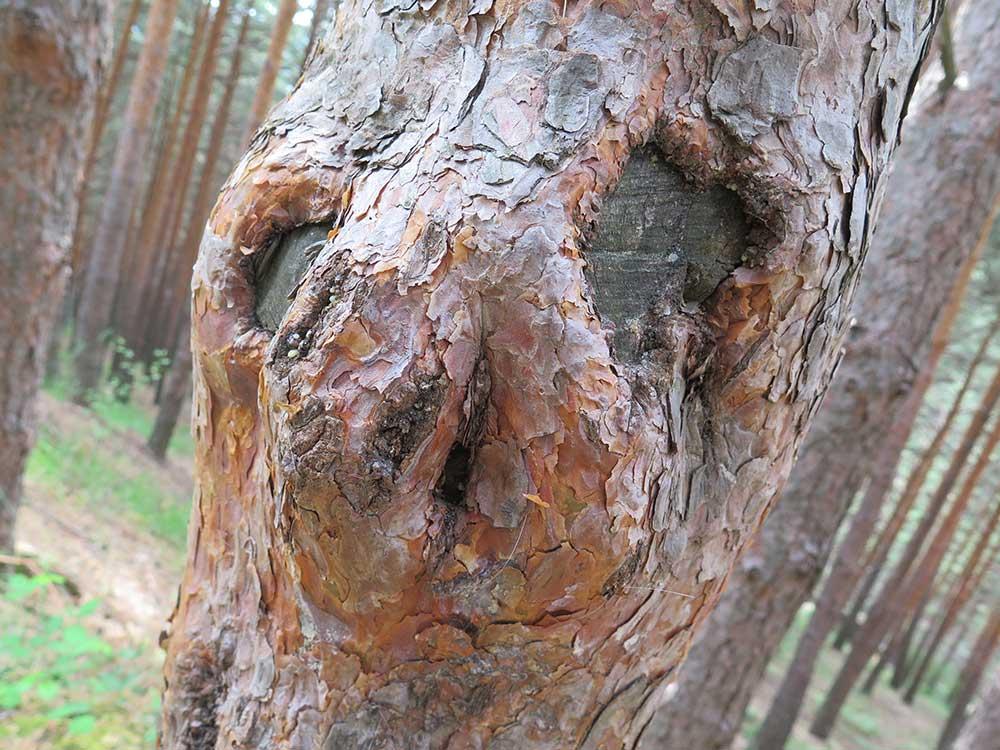 Detalle del tronco de un pino