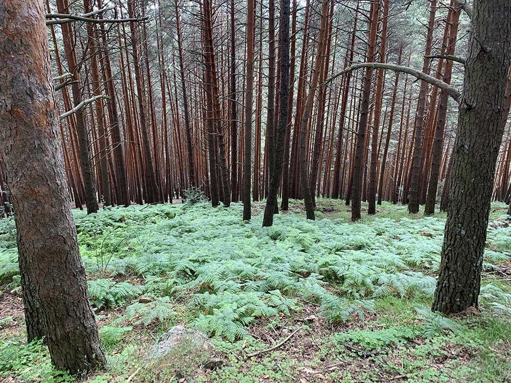 Chorrera de San Mamés - Tramo de pinos