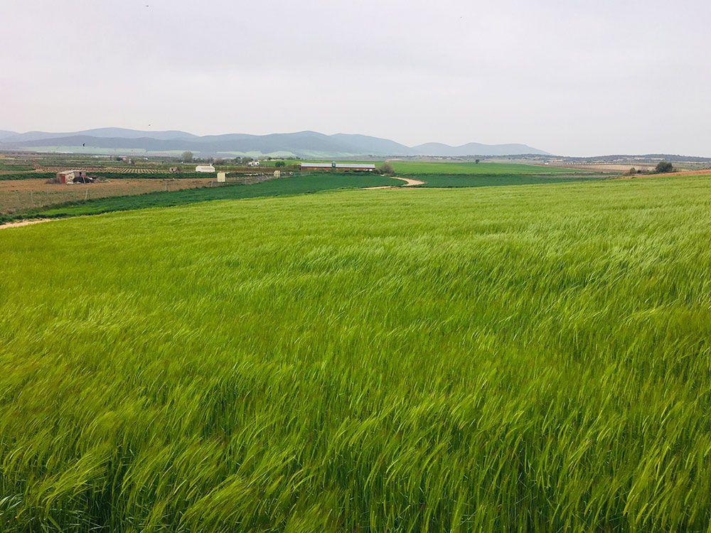 Curiosidades de Consuegra - Campo de cebada