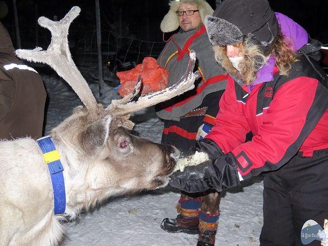 Alimentando a uno de los renos de Nils, del pueblo Sami