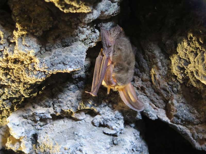 Murciélago en el interior de El Cubo de Siles