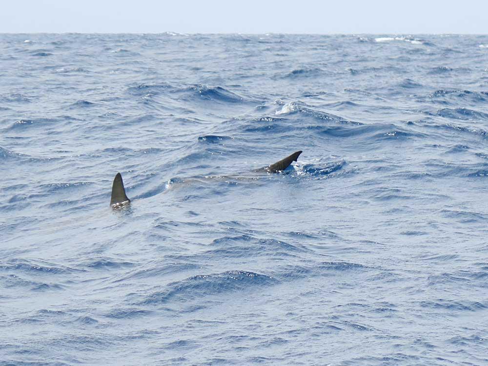 Excursión a los Órganos de La Gomera - Tiburón martillo