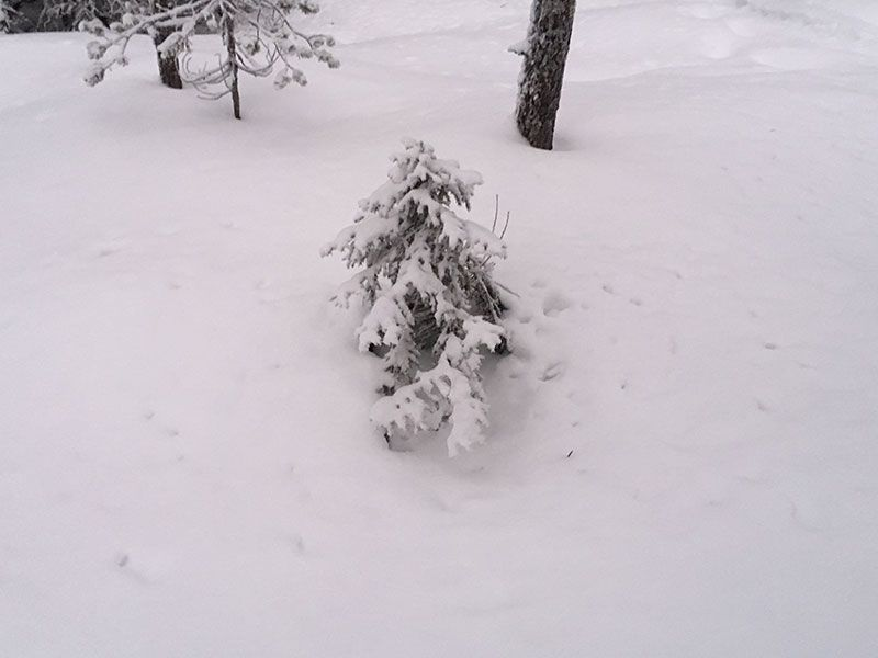 Excursión de raquetas de nieve en Rovaniemi - Arbolito chiquitito