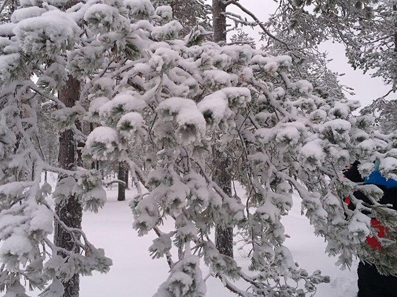 Excursión de raquetas de nieve en Rovaniemi - Detalle de rama