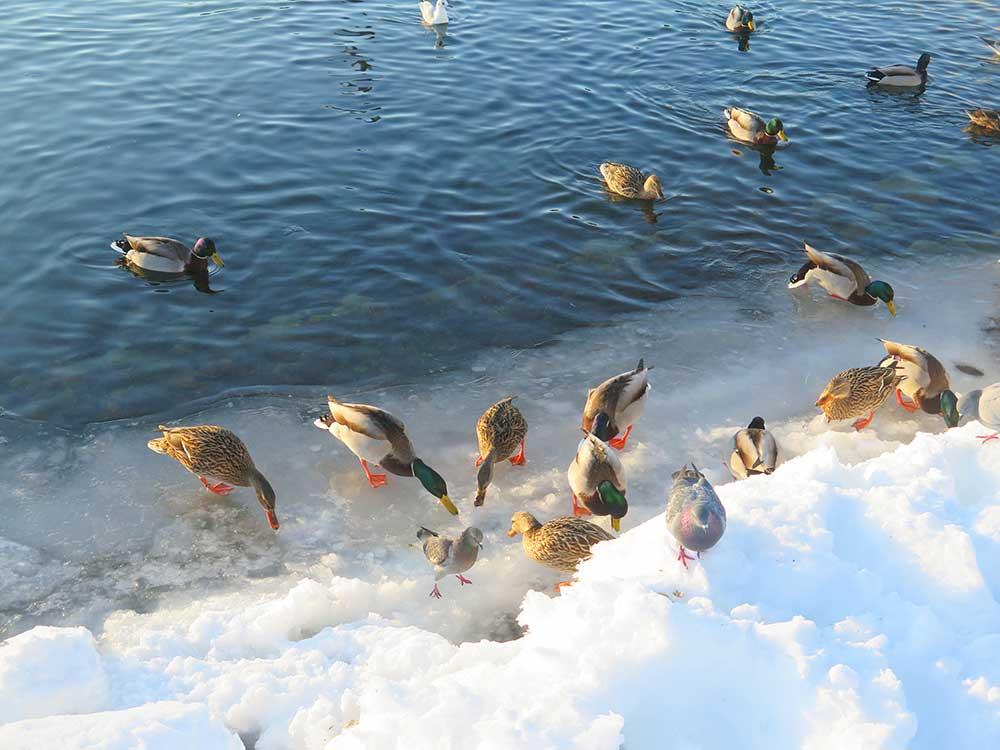 Patitos en el lago del Parque de las Cruces