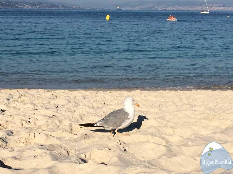Gaviota paseando por la playa de Rodas de las Islas Cíes. Dormir en las Islas Cíes