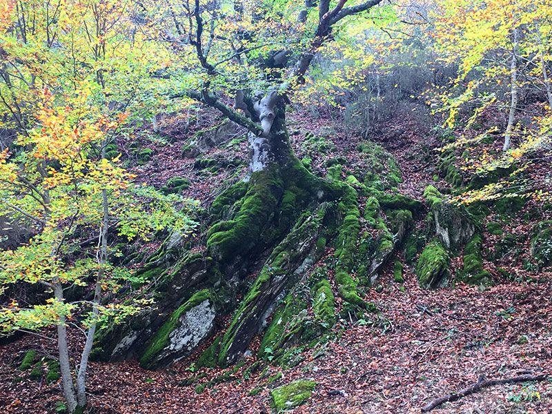 Hayedo de Montejo - Sierra del Rincón - Madrid - Haya en la roca