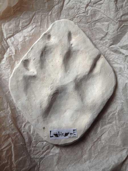 Huella de lobo ibérico. Cortesía de Carlos y Marta de Lobisome Naturaleza