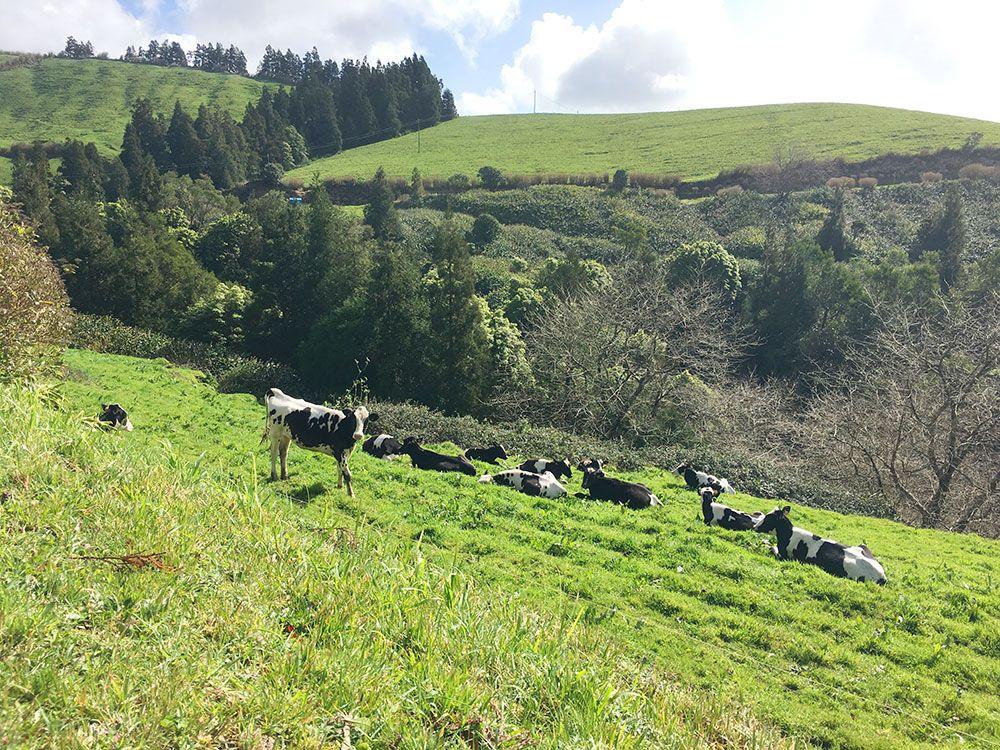 Lagoa Sete Cedades - Isla de São Miguel - Azores - Vacas