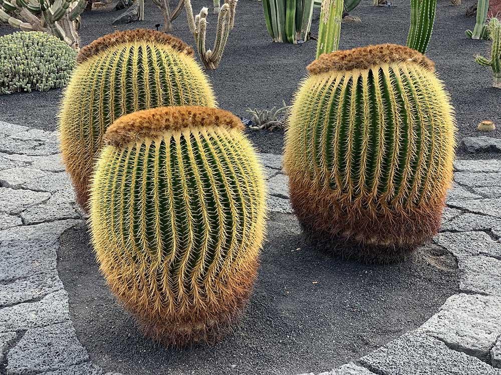 Ejemplares de cactus