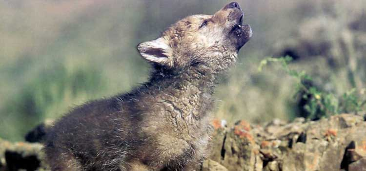 Cachorro de lobo