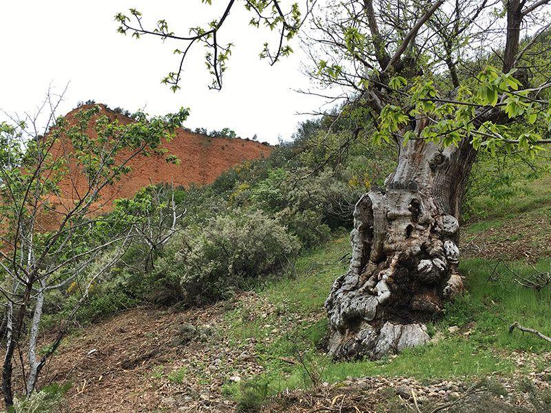 Mina de oro de Las Médulas - Castaños en la senda de Las Valiñas