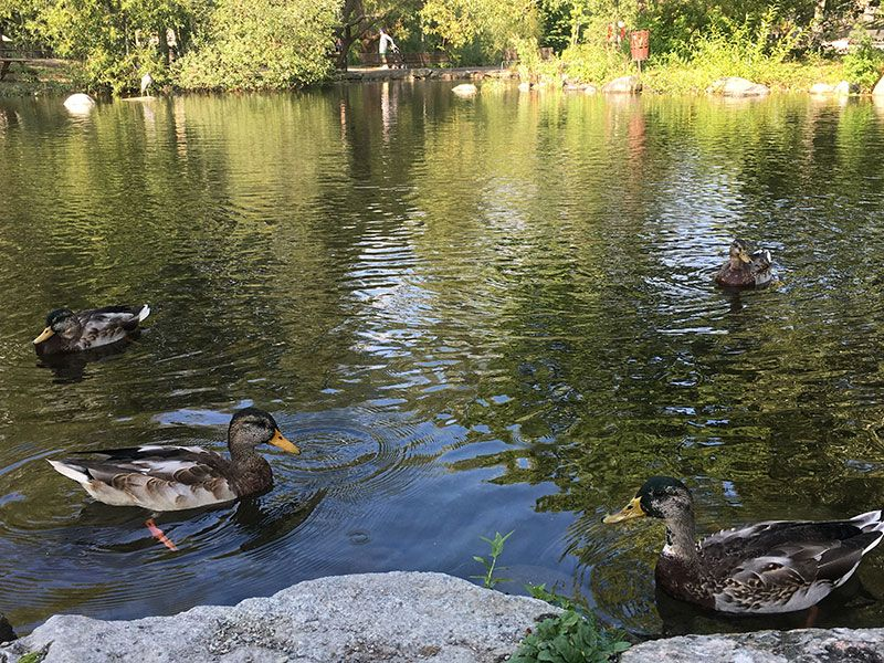 Museo Skansen Estocolmo - Patos nadando en el estanque