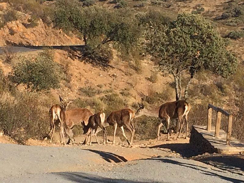 Parque Nacional de Monfragüe - Ciervos en la carretera