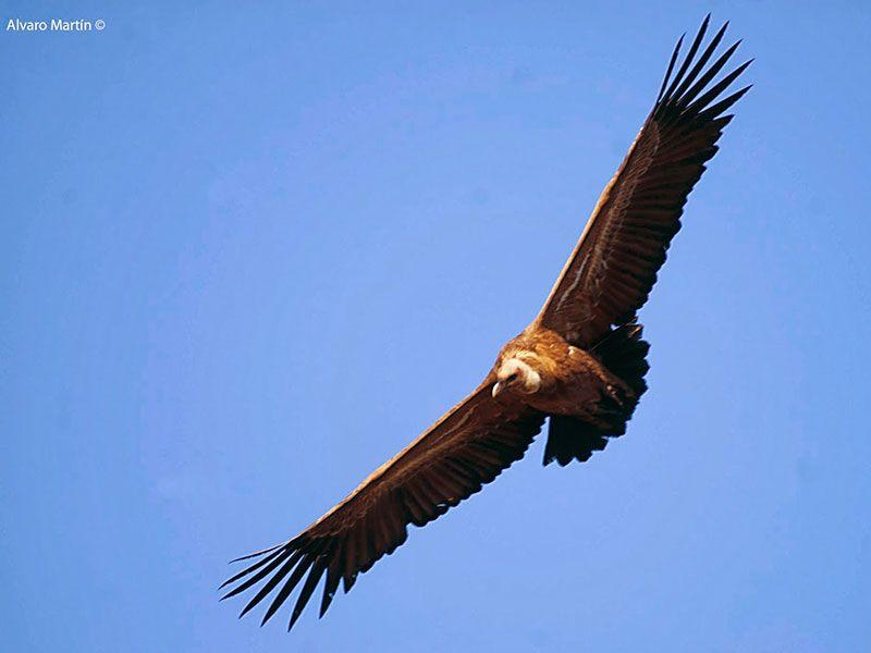 Piragüismo en la Hoces del Duratón - Ejemplar de buitre leonado volando