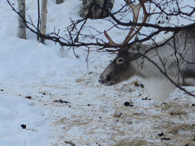 Qué ver en Kirkenes - Laponia Noruega - Reno