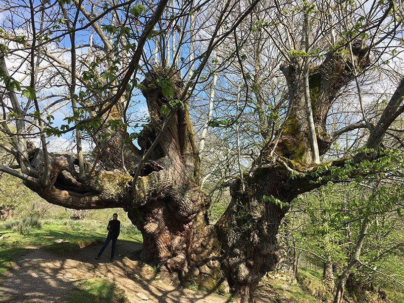 Qué ver en Trives - Ourense - Galicia - Castaño de Pumbariños