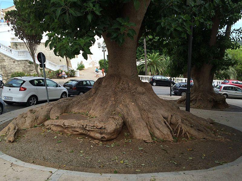 Qué ver y hacer en Menorca - Árbol gigante