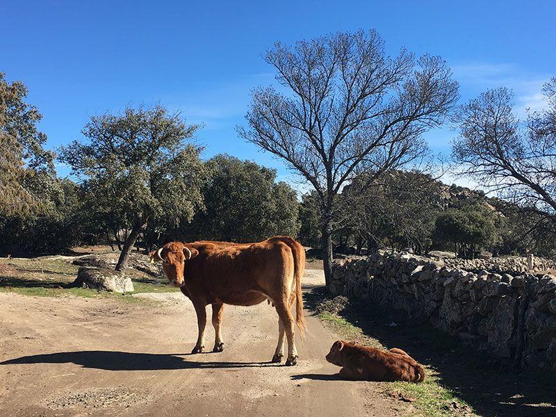 Ruta de senderismo Usos y Oficios Tradicionales - La Cabrera - Madrid - Vaquita y ternero