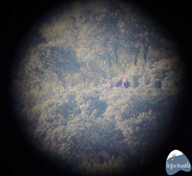 Foto de pareja de buitres negros colocando la cámara en el objetivo del telescopio, visita guiada al Parque Nacional de Cabañeros
