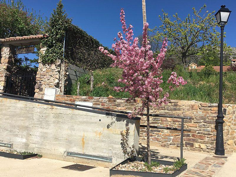 Rutas y pueblos del Embalse del Atazar - Cerezo en floración en Berzosa del Lozoya