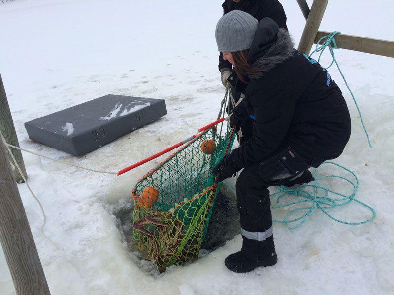 Safari de cangrejo real en Noruega - Extraemos la red de pesca