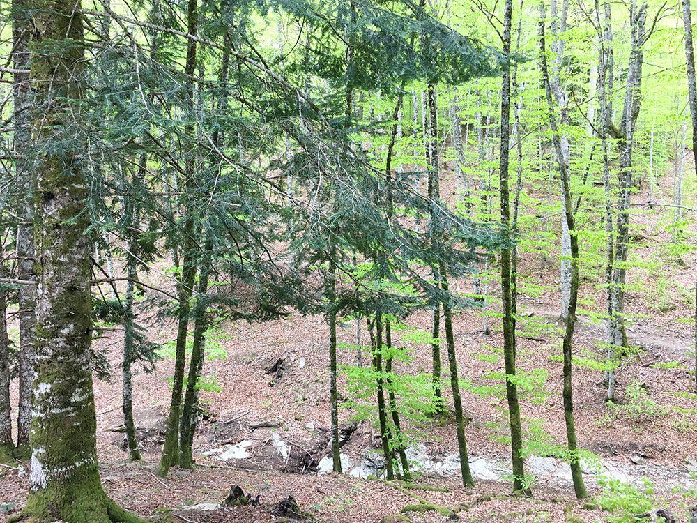 Selva de Irati - Abeto