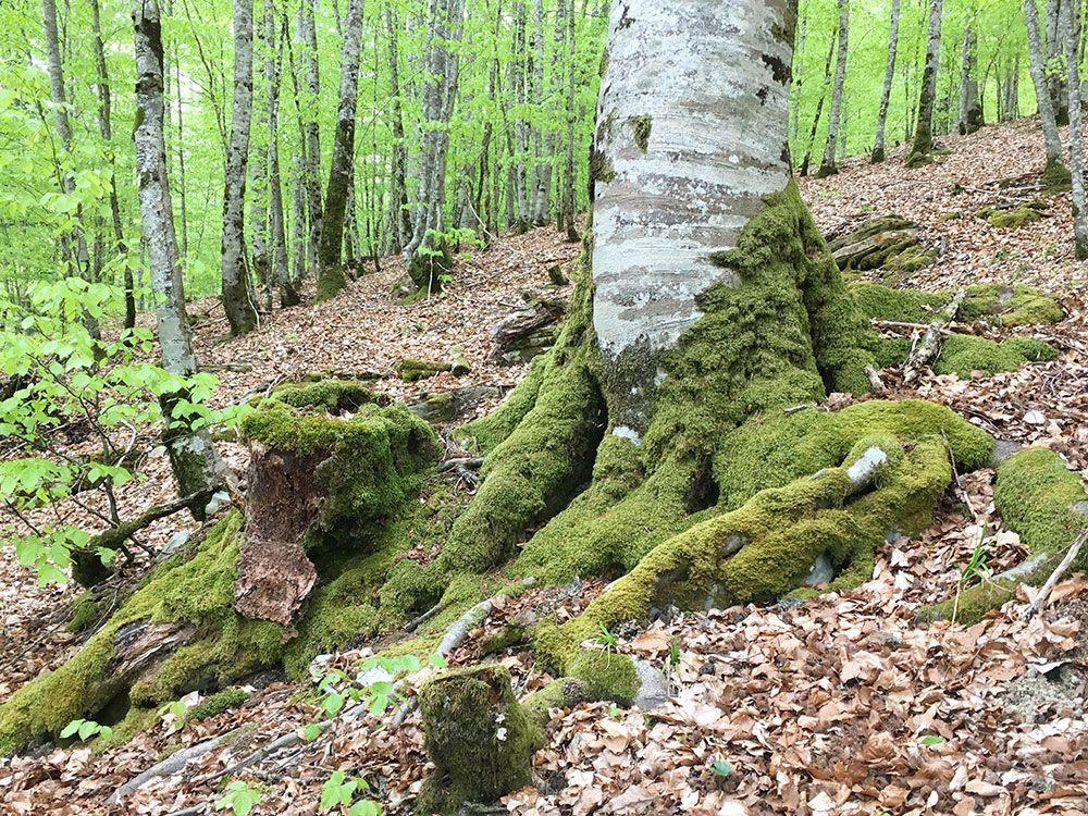 Selva de Irati - Musgo en los troncos de los árboles