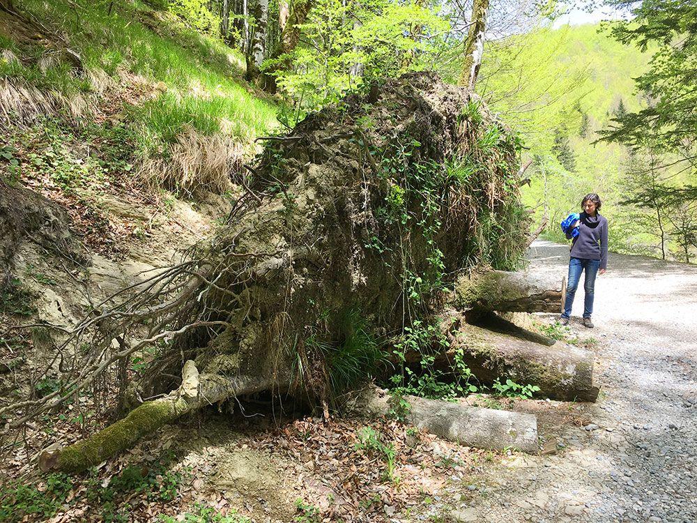 Selva de Irati - Raiz de árbol