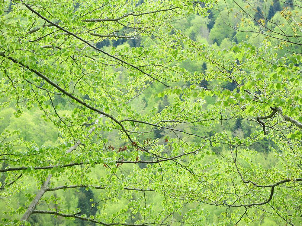 Selva de Irati - Follaje de las hayas