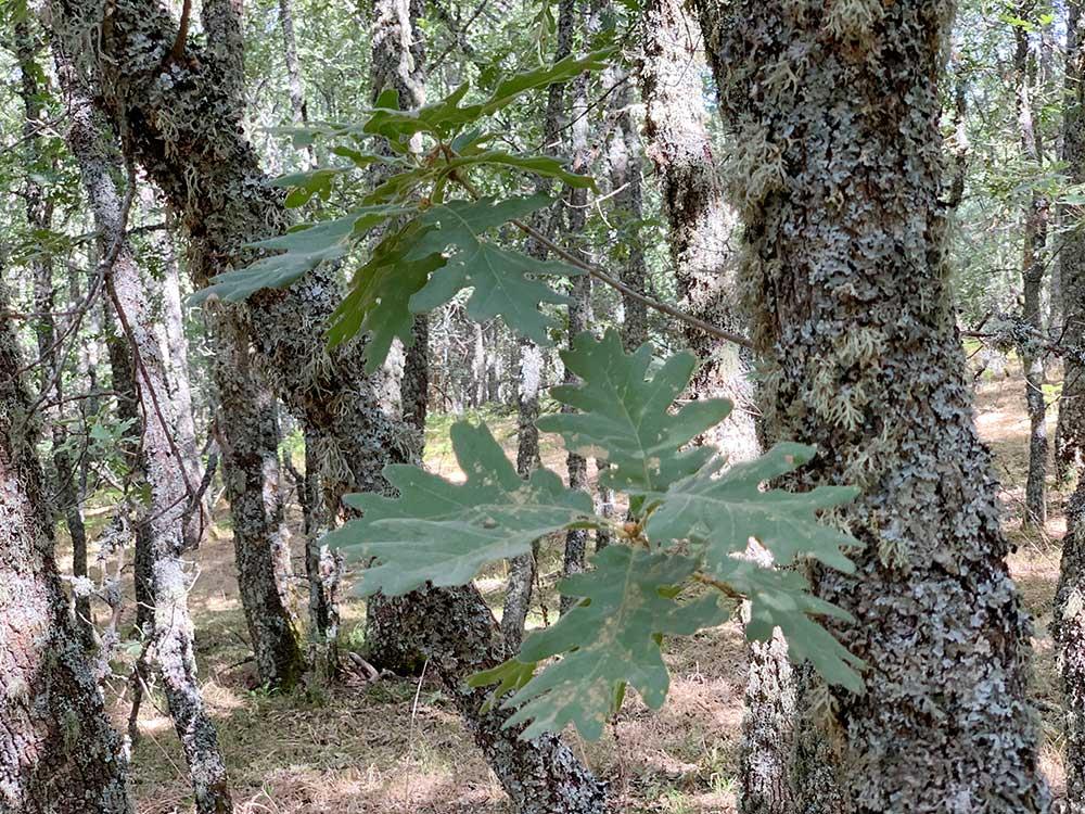 Detalle de las hojas de un roble