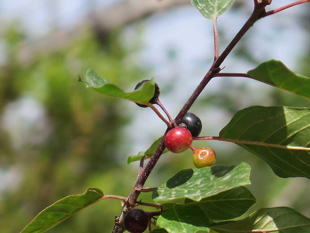 Arbusto arraclán