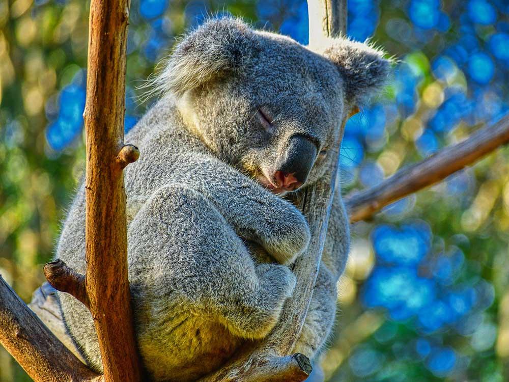 Visado para Australia y poder disfrutar de sus koalas